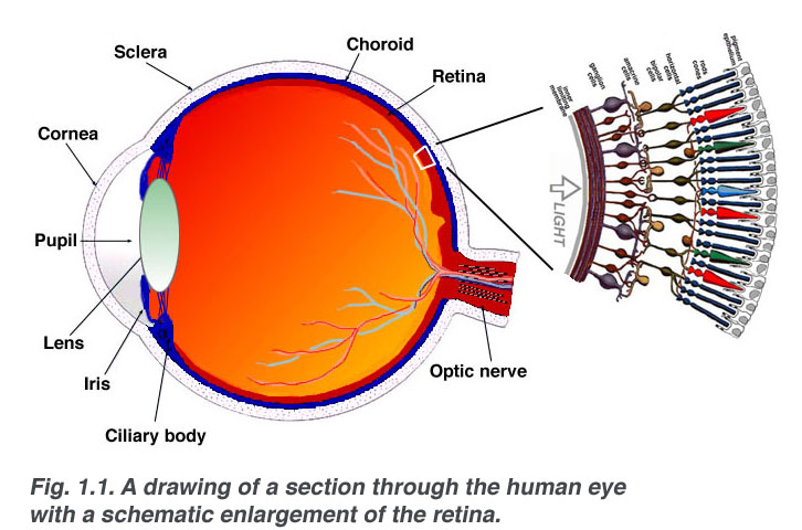 Back To Basics The Retina Sydney Ophthalmic Specialists